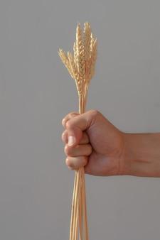 남자의 손은 주먹을 꽉 쥐고 흰색 배경에 밀 귀를 들고 있습니다. 작은 이삭은 사람의 손에 단단히 압축되어 있습니다. 농업에서 수확의 개념, 노동자의 노동.