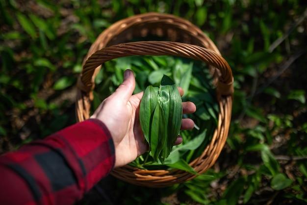 Рука человека, держащая зеленые листья медведя чеснока над корзиной в весеннем лесу.