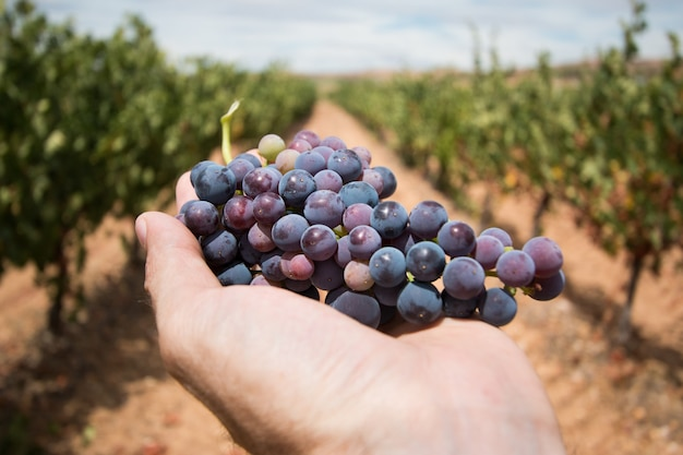 A man's hand holds a bunch of grapes in a vineyard