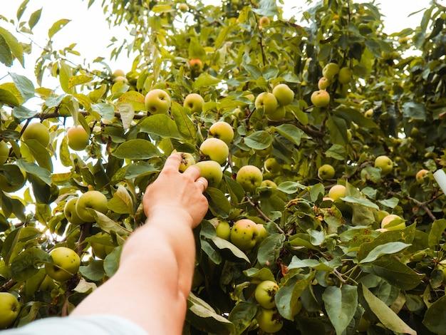A man's hand picks an apple from a branch