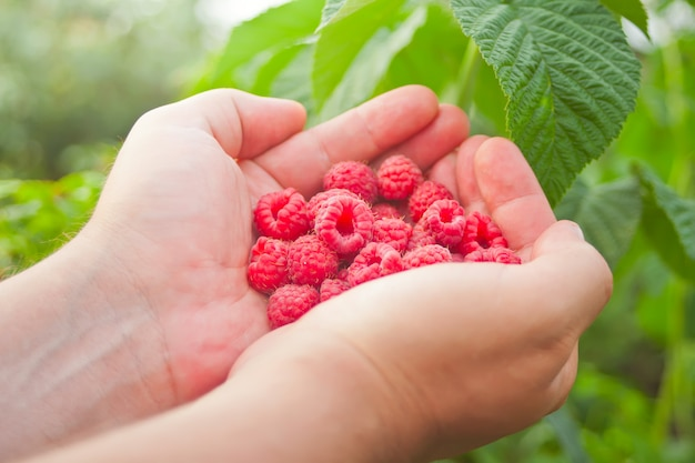 Man's hand with big red raspberries. tasty ripe red berries.