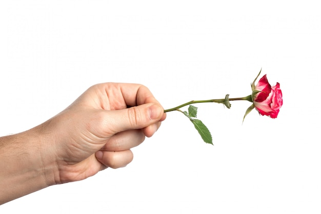 Man's hand with a pink rosed on white background