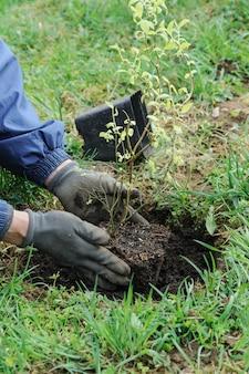 男の手が庭にブルーベリーを植えています。