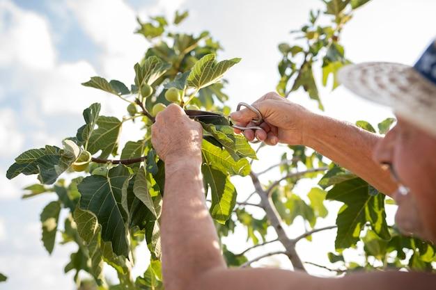 나무에서 무화과를 자르는 남자의 손