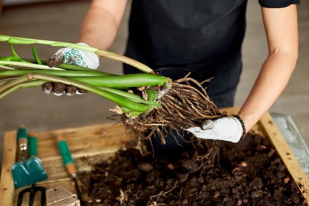 男の手は、根のあるザミオクルカス植物を保持し、屋内で花を植え替え、自宅で観葉植物の鉢植えを行います