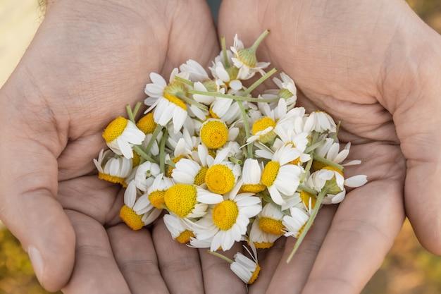 Мужские руки с ромашками в солнечный летний день. подбирая аптечную ромашку для ромашкового чая. лекарственное растение в ладонях. крупный план