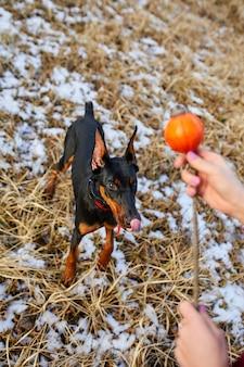 男は屋外で美しい犬のドーベルマンと時間を過ごす