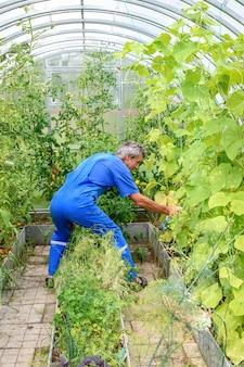 질병에 대한 온실에서 오이 식물을 살포하는 남자