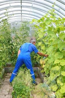 질병에 대한 온실에서 오이 식물을 살포하는 남자 프리미엄 사진