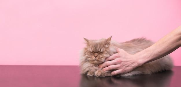 Мужчина гладит серого, пушистого кота на розовом фоне, кот любит гладить его, он получает удовольствие с закрытыми глазами