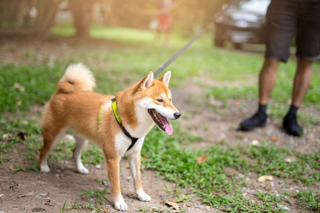 Man taking shiba inu dog on leash walking in the park