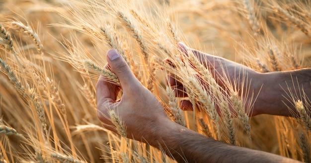 男は日没時に大麦の耳に触れます