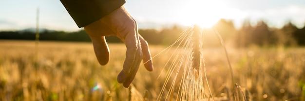 Человек, касаясь колосья пшеницы на рассвете