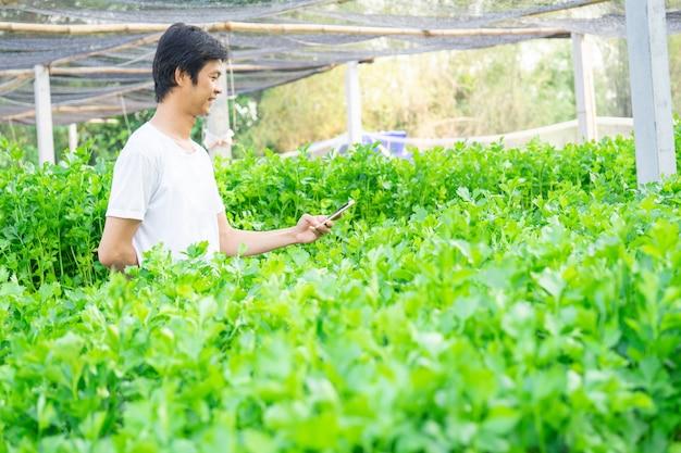 Man use smartphone check order fresh organic celery in vegetable garden.