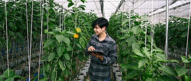Человек с помощью планшета изучает развитие сладкого перца в тепличной ферме.