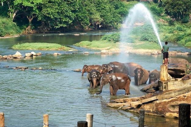 アジアの島の川で象を洗う男