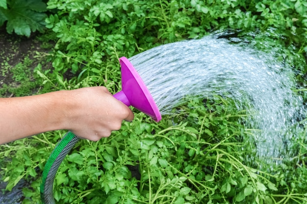 A man waters vegetable beds in his garden with a watering can
