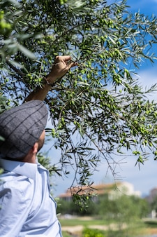 Man with a beret picking a green olive from a tree