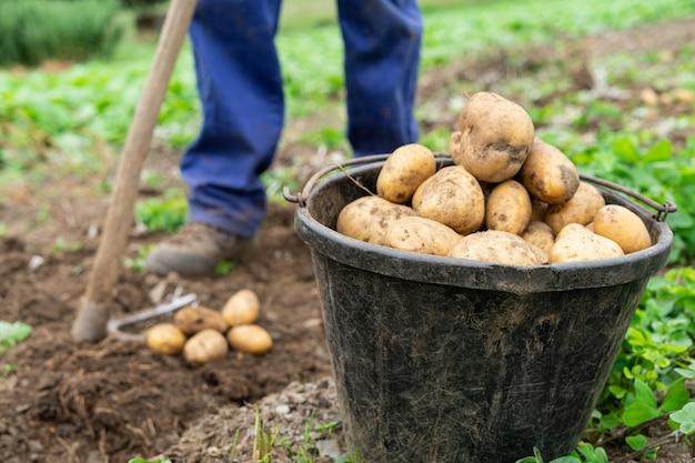 Человек с ведром, полным свежесобранного картофеля сельскохозяйственная концепция