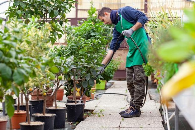 レモンの木に水をまく庭のホースを持つ男。