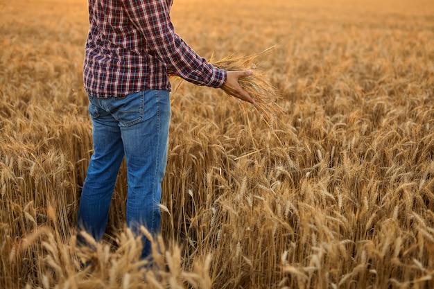 夕日の光の中でスパイクの手によって触れられた小麦のフィールドで視聴者に背を向けた男。小麦の収穫をチェックするフィールドを歩いている農民。農民の手に小麦の芽