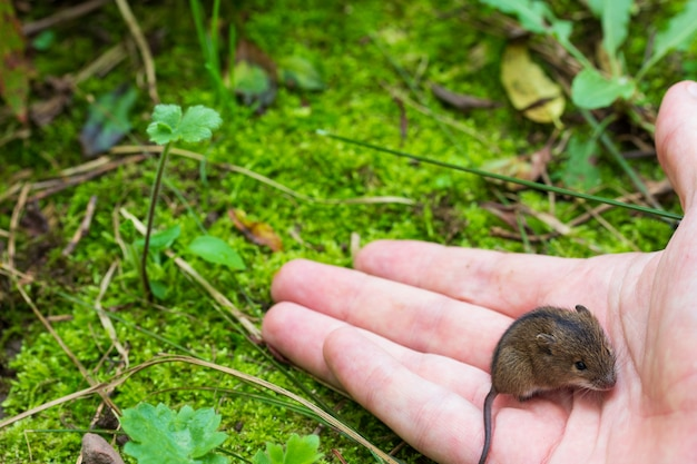 Man with a palm releases a forest mouse