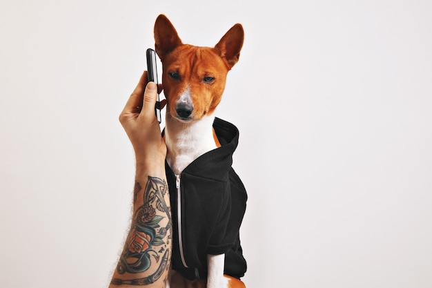 Man with tattooed arm holds up a smartphone to the ear of a basenji dog in black hoodie isolated on black