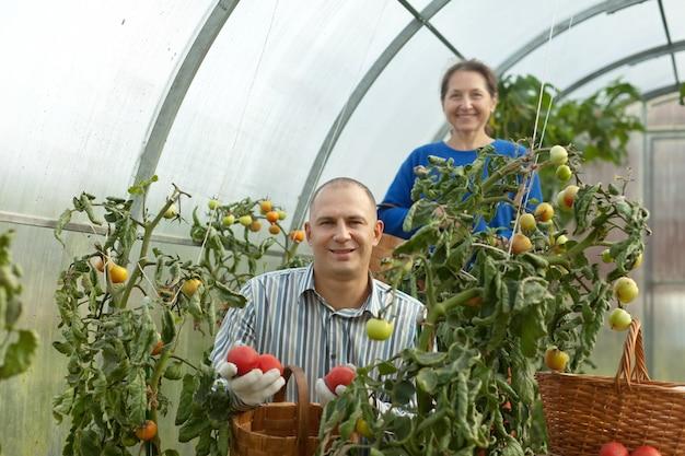 Man and woman picking tomato