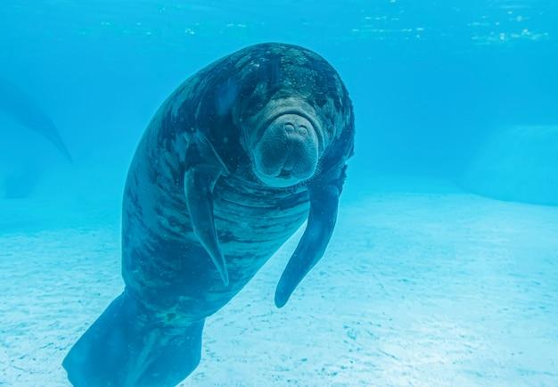 Manatee swimiming in water
