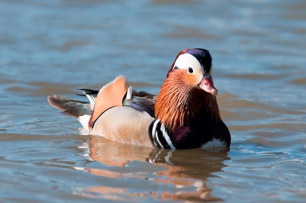A mandarian duck on a lake