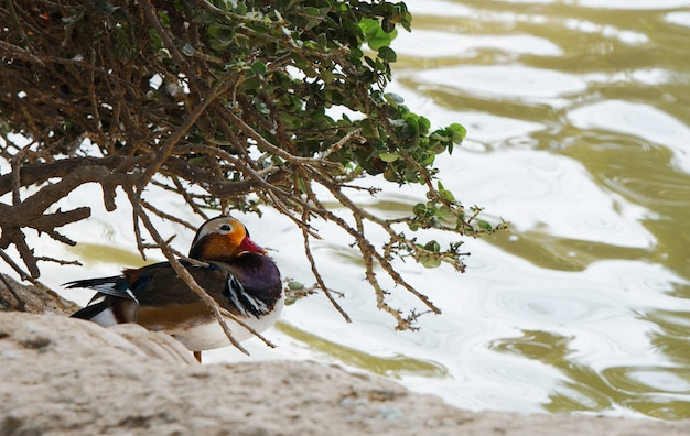 Mandarin duck on the brown ground in spring