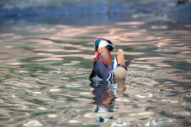 The mandarin duck mandarin teal or just mandarin is a mediumsized duck