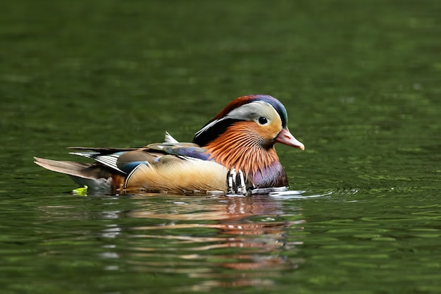 Mandarin duck swimming in pond with water in summer.