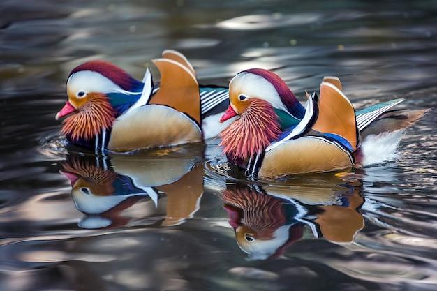 Mandarin ducks are swimming