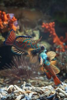 北京語の魚は領土のために戦う