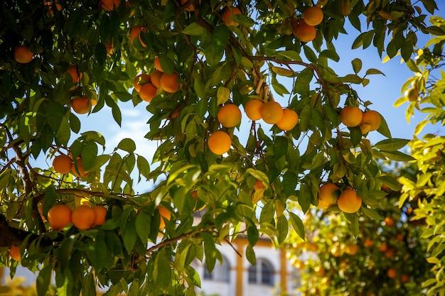 Mandarin fruits on a tree