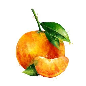 Mandarin. watercolor illustration