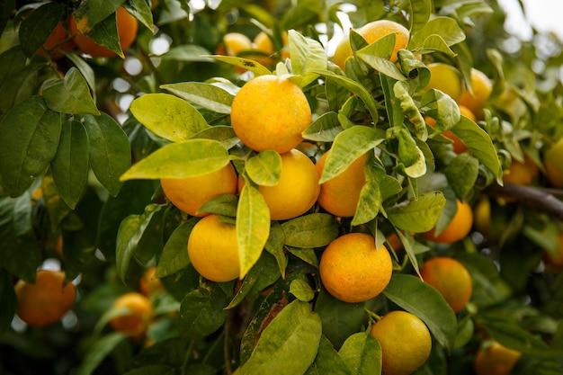 木の上のマンダリンマンダリンオレンジは意味します