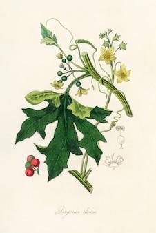 英語のmandrake(bryonia dioica)medical botany(1836)のイラスト
