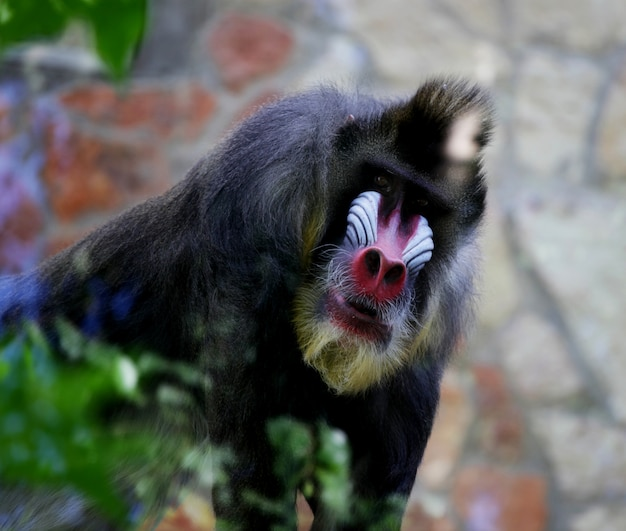 Mandrill. обезьяна в зоопарке.
