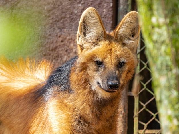 Гривистый волк (chrysocyon brachyurus) гуляет в зоопарке.
