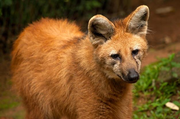 Гривой волк - хризоцион брахирус