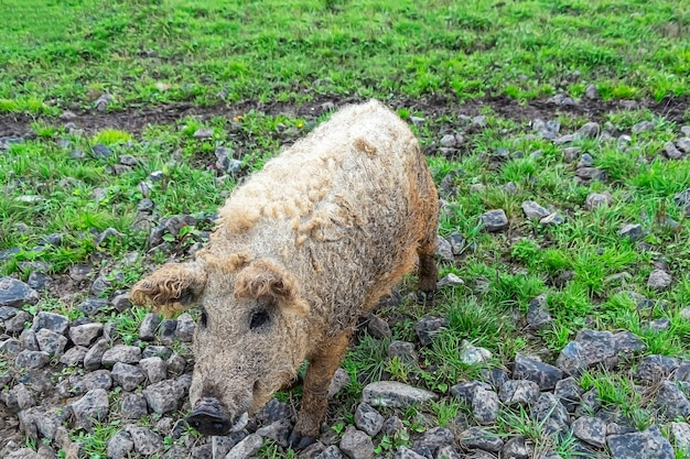 Mangalica hungarian breed of domestic pig on farm grazing in mud and green grass