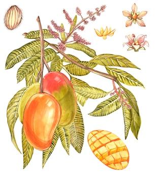 Mango fruit and flowers isolated