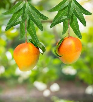 Mango fruit on a mango bunch, r2e2 mango fruit with leaves in garden.
