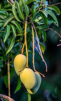 Mango fruit on the tree. close-up. tropical countries.