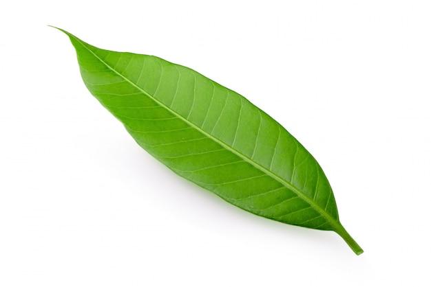 Mango leaf isolated on white
