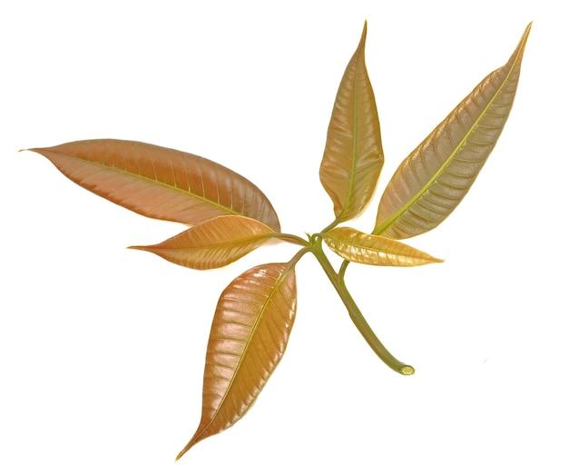 Листья манго, изолированные на белом фоне