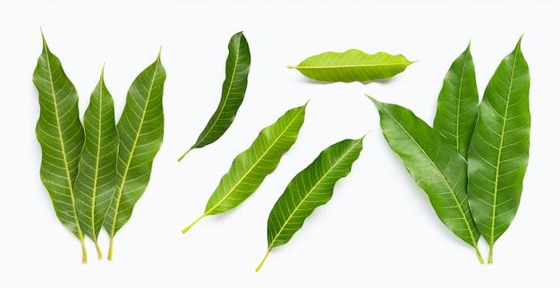 Mango leaves isolated