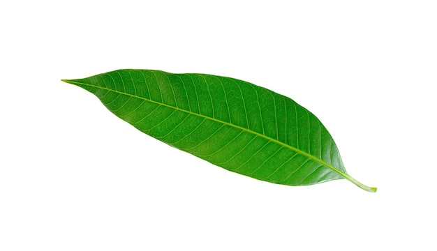 Листья манго на белом